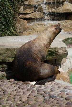 phylum chordata: Patagonian Sea Lion - Otaria flavescens