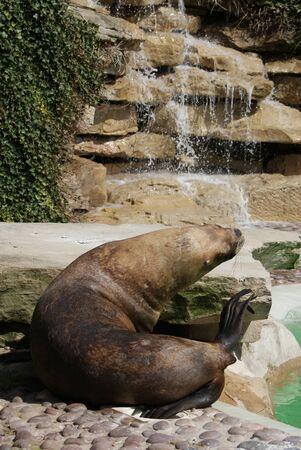 flavescens: Patagonian Sea Lion - Otaria flavescens
