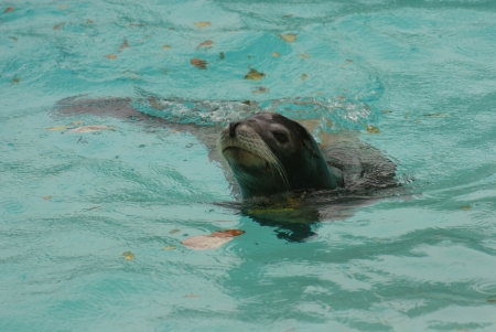 californian: Californian Sea Lion - Zalophus californianus