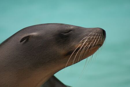 species living: Californian Sea Lion - Zalophus californianus