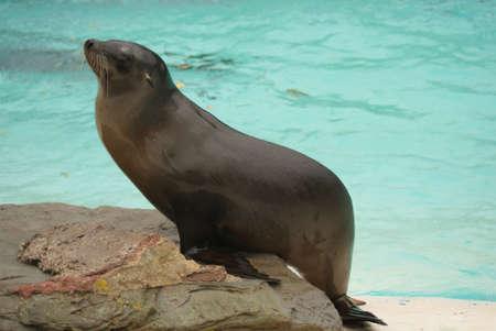 chordata phylum: Californian Sea Lion - Zalophus californianus