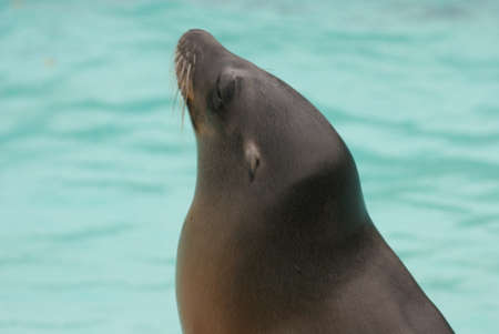 californian: Californian Sea Lion - Zalophus californianus