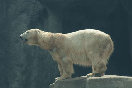 species living: Polar Bear - Ursus maritimus