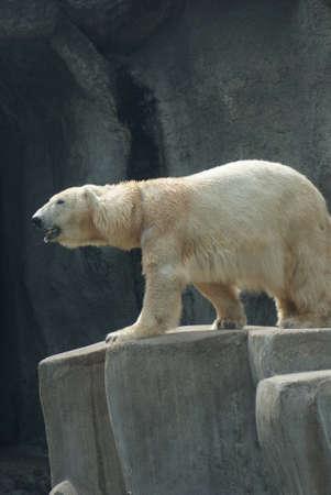 phylum chordata: Polar Bear - Ursus maritimus
