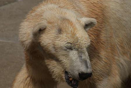 chordata phylum: Polar Bear - Ursus maritimus
