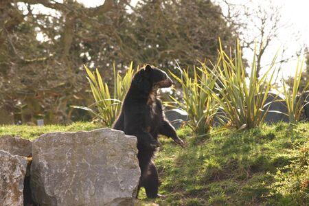 spectacled: Spectacled Bear - Tremarctos ornatus