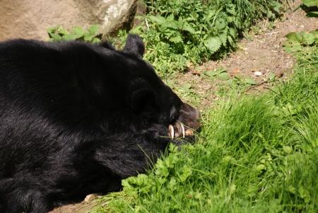 phylum chordata: Asiatic Black Bear - Ursus thibetanus