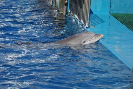 cetacea: Common Bottlenose Dolphin - Tursiops truncatus