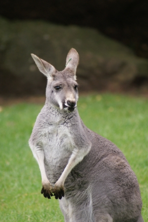 Close-up image of an Agile Wallaby - Macropus agilis photo