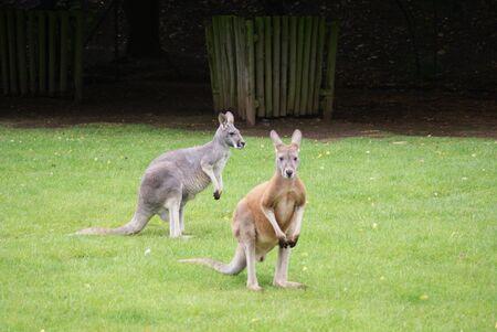 phylum chordata: Imagen de primer plano de un Wallaby ?l - Macropus agilis Foto de archivo