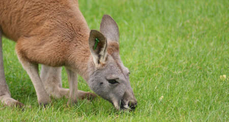species living: Close-up image of an Agile Wallaby - Macropus agilis