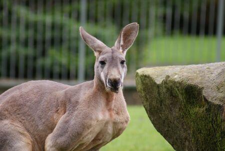 phylum chordata: Red Kangaroo - Macropus rufus