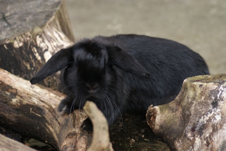 european rabbit: Europea Rabbit - Oryctolagus cuniculus
