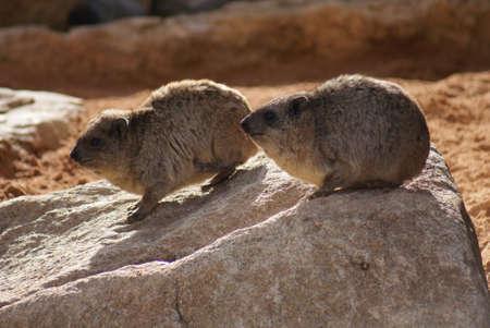 phylum chordata: Rock Hyrax - Procavia capensis Foto de archivo