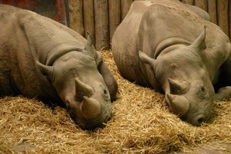 Black Rhinoceros - Diceros bicornis