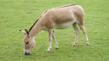 Onager - Equus hemionus - resting on the plains Stock Photo