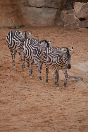 grants: Close-up image of a Grants Zebra - Equus quagga boehmi