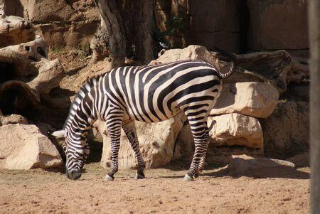 grants: Grants Zebra - Equus quagga boehmi