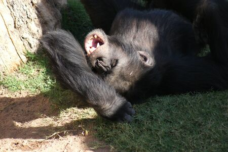troglodytes: Common Chimpanzee - Pan troglodytes Yawning Stock Photo