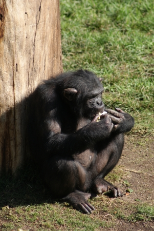 troglodytes: Common Chimpanzee - Pan troglodytes Stock Photo