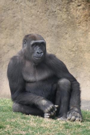 Western Lowland Gorilla - Gorilla gorilla gorilla Stock Photo - 16241542