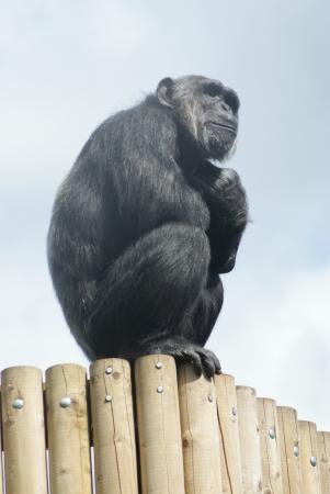 Common Chimpanzee - Pan troglodytes - Watching Stock Photo