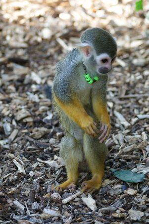 Common Squirrel Monkey - Saimiri sciureus photo