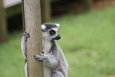 Ring-tailed Lemur - Lemur catta photo