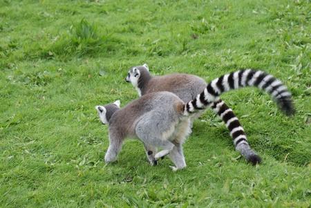 Ring-tailed Lemur - Lemur catta Stock Photo