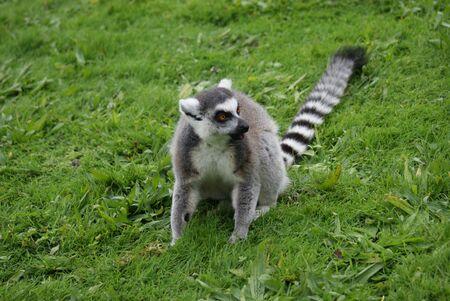 catta: Ring-tailed Lemur - Lemur catta Stock Photo