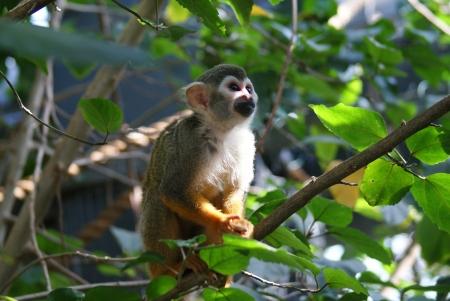 sciureus: Common Squirrel Monkey - Saimiri sciureus
