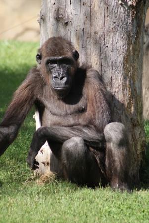 lowland: Western Lowland Gorilla - Gorilla gorilla gorilla Stock Photo