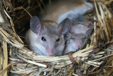 Cairo Spiny Mouse - Acomys cahirinus dimidiatus
