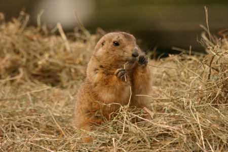 Black-tailed Prairie Marmot - Cynomys ludovicianus photo