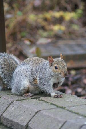 sciurus: Grey Squirrel - Sciurus carolinensis