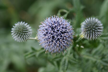 Close-up image of a Purple Globe Thistle  Echinops ritro  photo