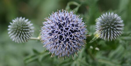 Close-up image of a Purple Globe Thistle  Echinops ritro  Stock Photo - 16675403