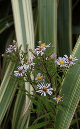 A wild growing daisy