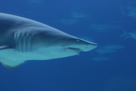 Grey Shark in deep blue water photo