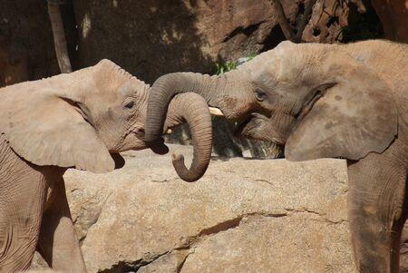 africa kiss: African Bush Elephant - Loxodonta africana - Love in the air