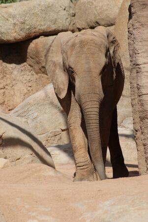 africana: African Bush Elephant - Loxodonta africana