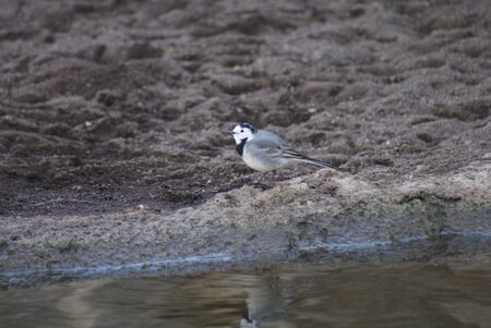 White Wagtail - Motacilla alba walking beside a stream Stock Photo - 16778335