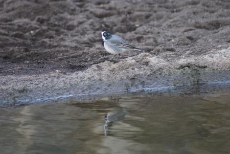 motacilla: Lavandera blanca - Motacilla alba caminando junto a un arroyo