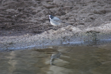 White Wagtail - Motacilla alba walking beside a stream photo