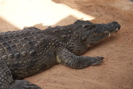 niloticus: Nile Crocodile - Crocodylus niloticus