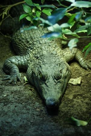 A resting Philippine Crododile - Crocodylus mindorensis photo