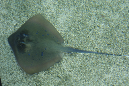 A top-down view of a Blue-spotted Ray - Taeniura lymma