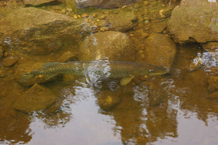 Large Northern Pike - Esox lucius in Loch Ness photo