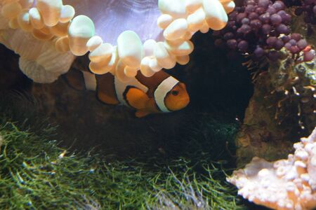 ocellaris: A Common Clownfish hiding - Amphiprion ocellaris