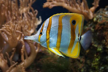 chelmon: A Beautiful Copperband Butterflyfish - Chelmon rostratus